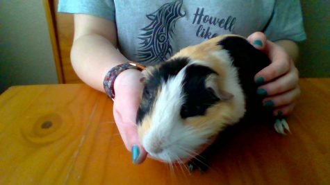 The Basics of Taking Care of a Guinea Pig