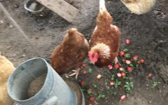 Living With Chickens 101